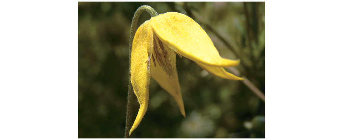 Yellow Clematis